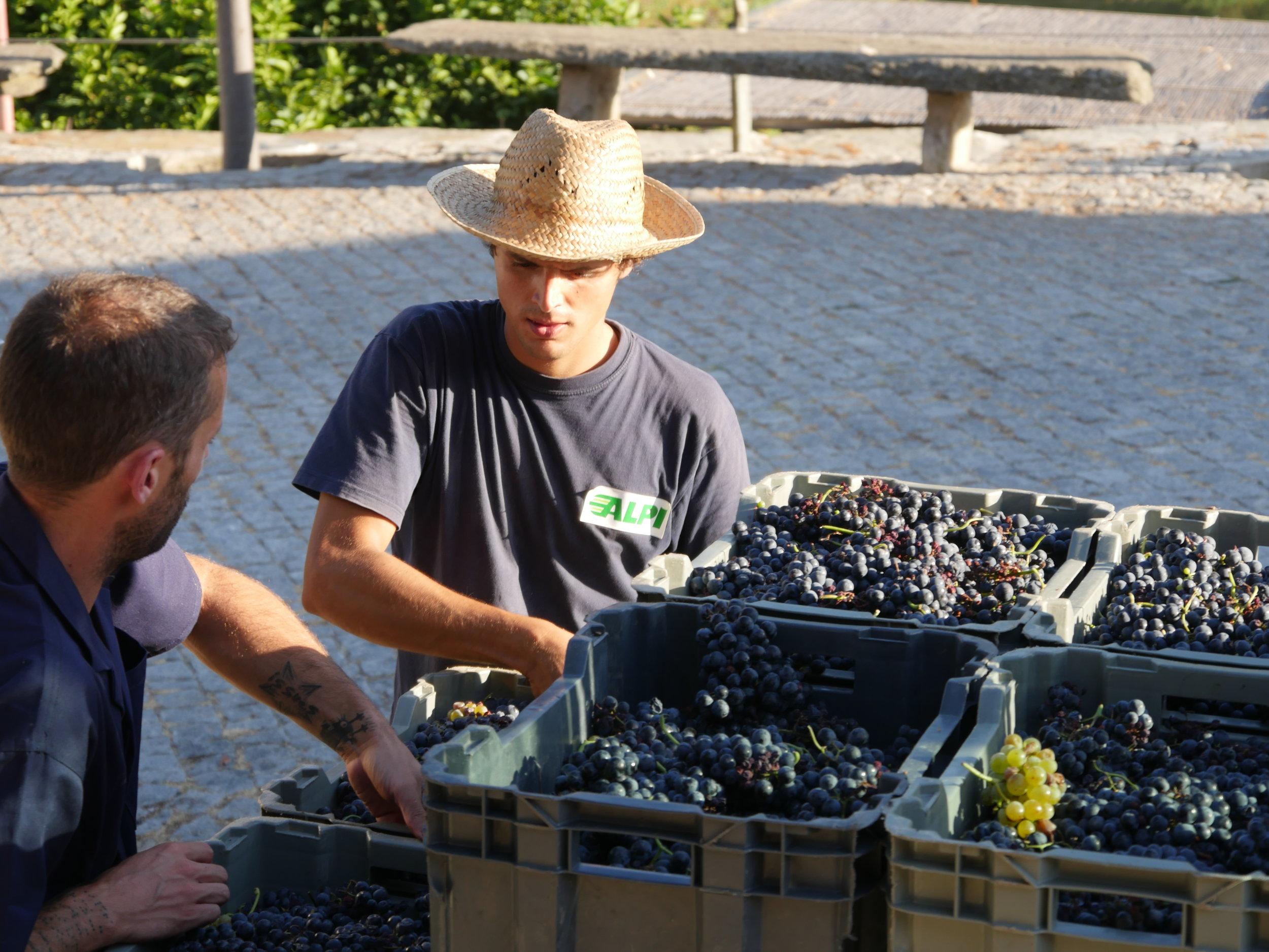 Le déchargement et le tri commencent, notez 1 grappe de raisin blanc.