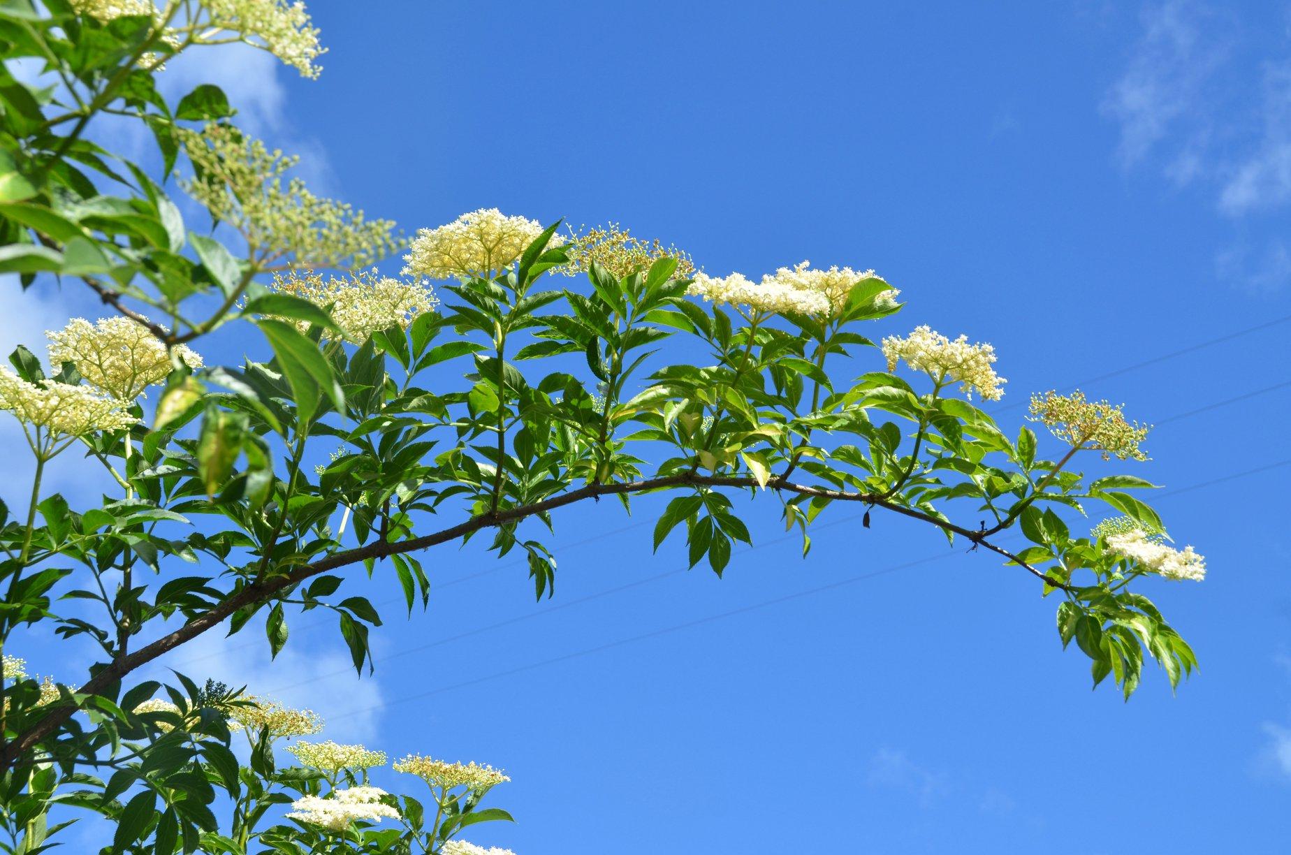 Elderberry at peak bloom.