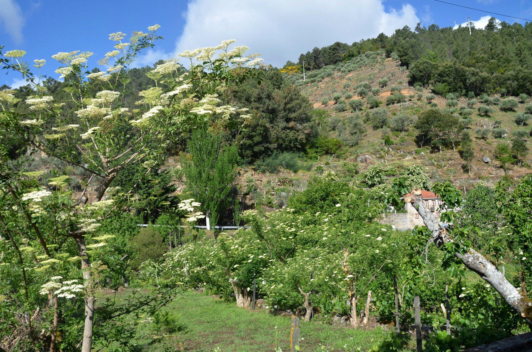 Elderberry beauty along the way.