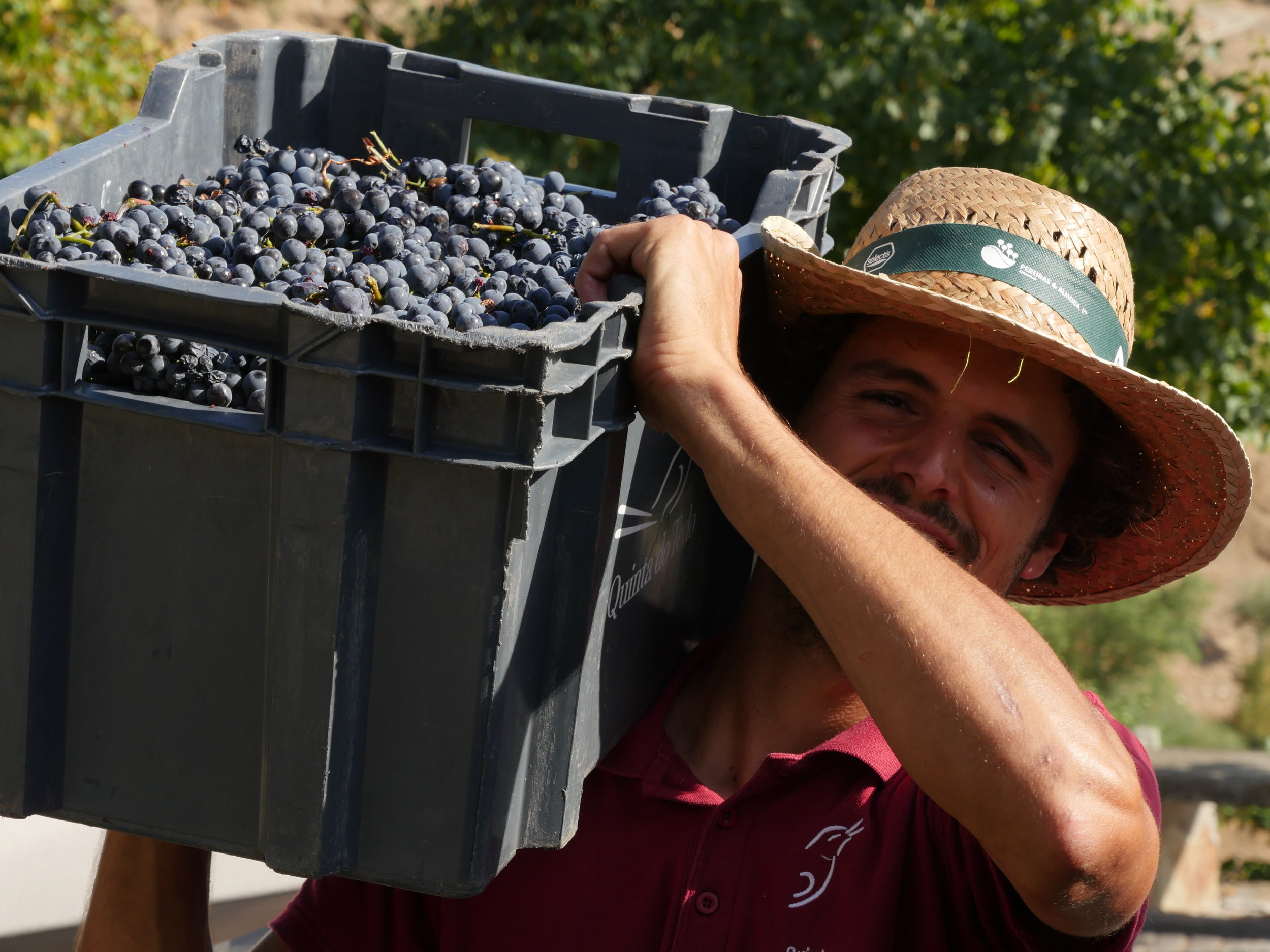 4th harvest to have Italian Alberto back with us at Tedo.
