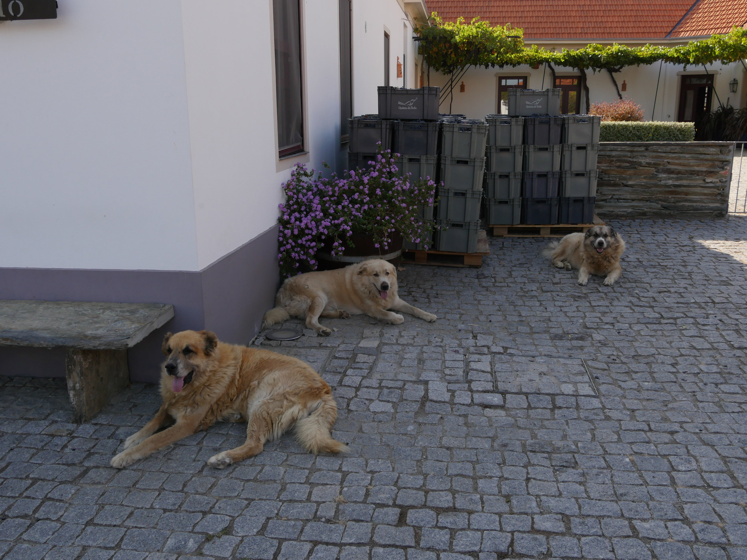 Our Quinta do Tedo mascots overseeing harvest.