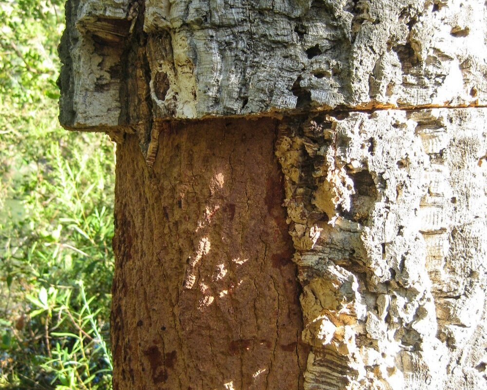 """Here you see the 2 bark layers, the red-brown under-layer and the lighter more """"cork-like"""" outer-layer. The outer layer is harveted every 9 years - sustainability at its best!"""