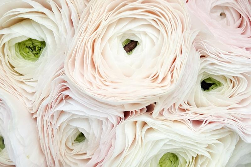 Blomsterguide ranunkler