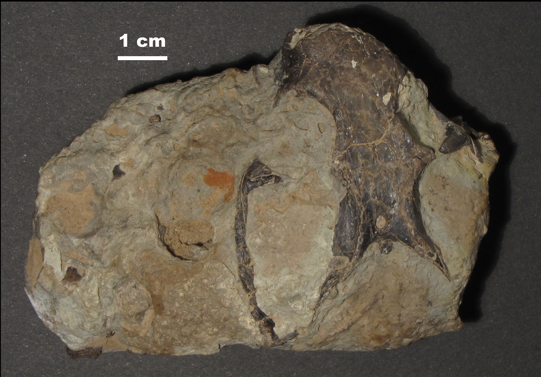 Fossil specimen of Niassodon.
