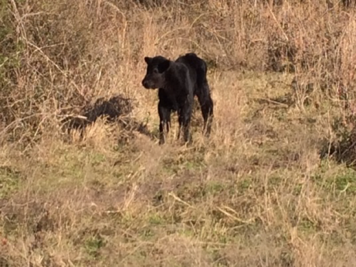 Our new calf.