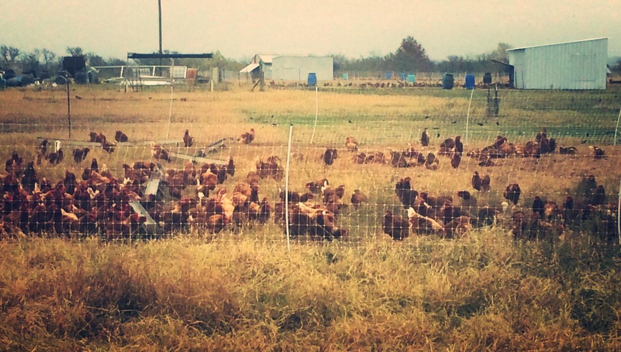Jolie Vue Farms - Pasture raised chickens ©2016