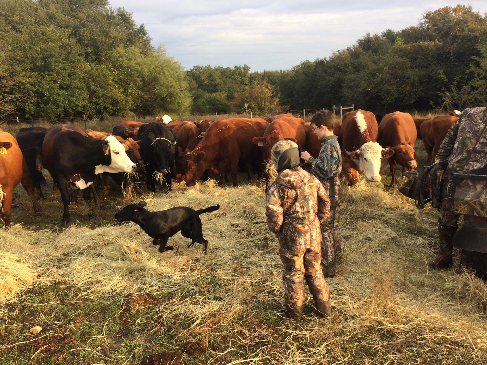 Jolie Vue Farms - Grass fed cows.