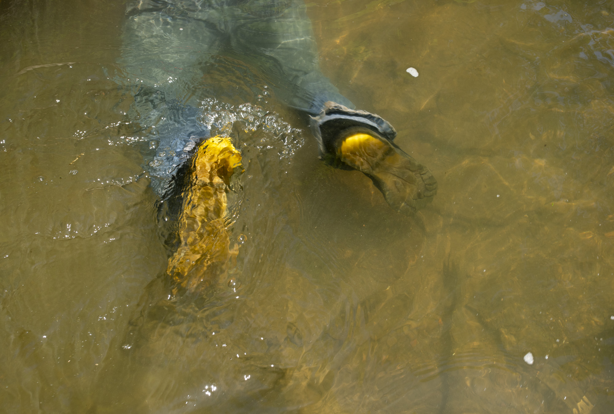 Joe Clemens legs float in the water as he submerges to reach into a hole that he thinks a snapping turtle is in.