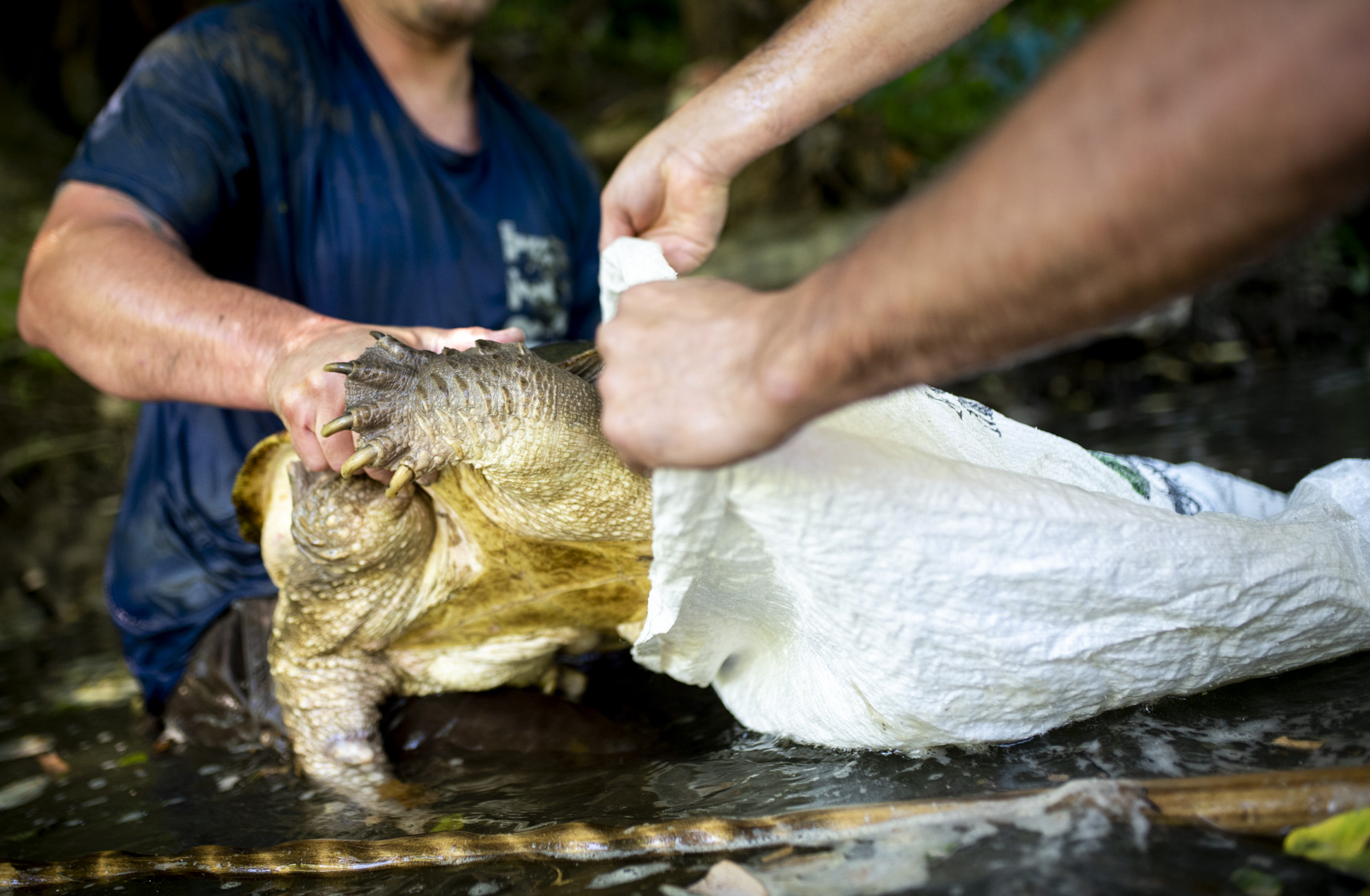 Joe Clemens holds open the bag to put the snapping turtle in so they can carry is while they hunt for more turtles.