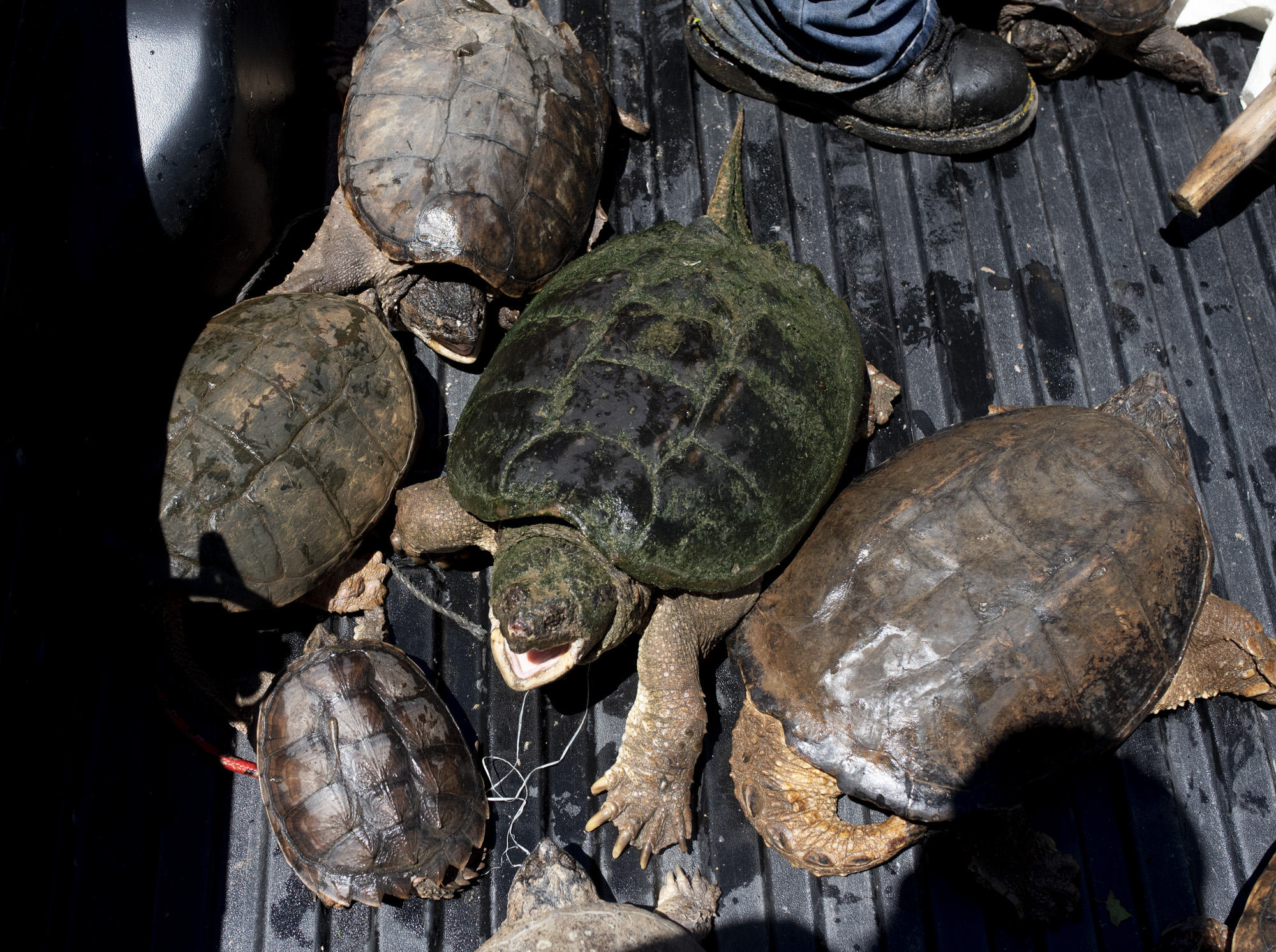 Snapping turtles hiss in the back of Joe Clemen's truck on July 7, 2018. The Clemens at the end of the day normally release the turtles back into the creek after taking photos with the turtles.