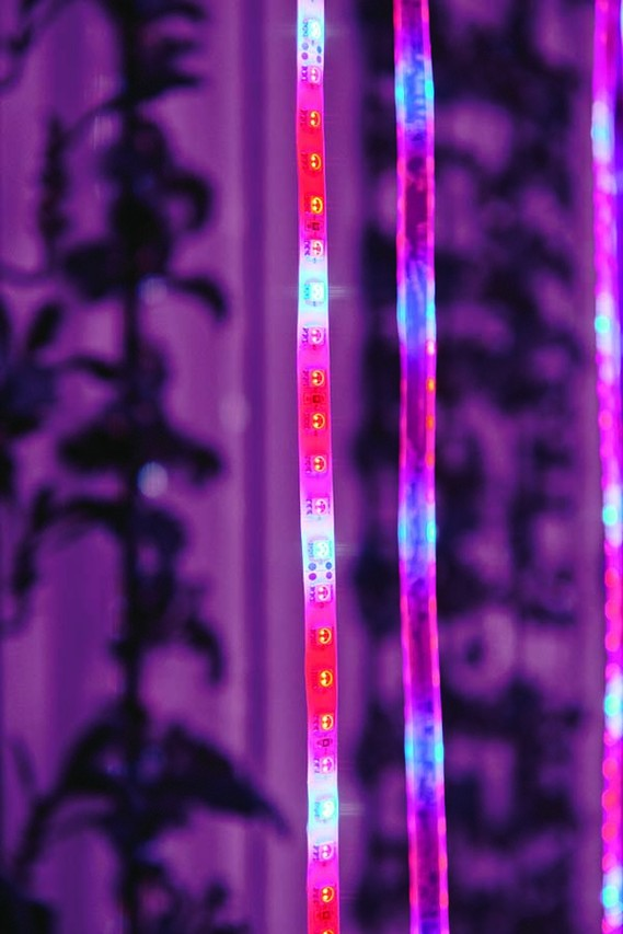 LED strips effect photosynthesis. PHOTO:TONY LUONG FOR THE WALL STREET JOURNAL