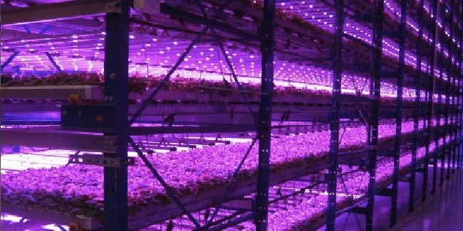 "Plants at Caliber Biotherapeutics grow in a ""pink house"" under blue and red LED lights. The tobacco-like plants will be used for making new drugs and vaccines. Photo Credit: Caliber Biotherapeutics"