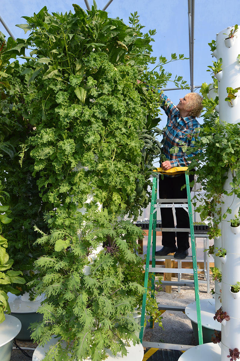 Mona Hitch reaches for celery at the top of one of her vertical farm towers.  CREDIT CAROLINE LELAND