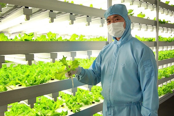 The number of Japanese plant factories producing more than 10,000 heads of lettuce daily is estimated to be around 10.  Photos courtesy of Dr. Toyoki Kozai.