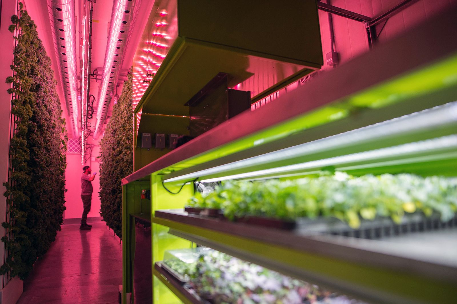 An employee inspects a wall of kale and greens growing vertically inside a modular farming unit at Modular Farms Co.