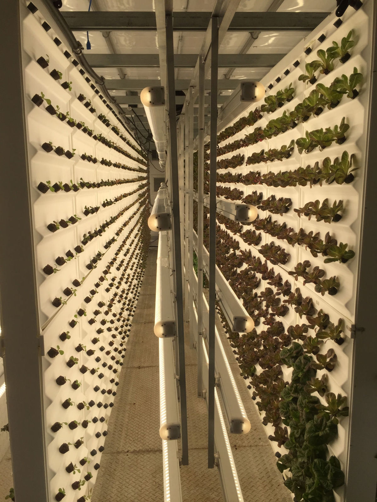 Lettuce grows inside a converted shipping container at Tiger Corners Farms in Summerville. Tony Bertauski/Provided   Tony Bertauski