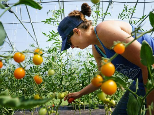 """Jenny Quiner of Des Moines, picks tomatoes in a high tunnel at Dogpatch Urban Gardens on Wednesday, July 19, 2017 in Beaverdale. """"We are setting a neat model to show people how local food can impact your community,"""" Quiner said of her urban garden.(Photo: Brian Powers/The Register)"""