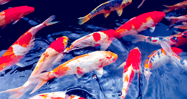 Stars Hallow Co.'s new aquaponics facility in Cambridge will raise river catfish and koi, similar to the fish in this photo. Only the catfish will be sold as food.(Photo: Depositphotos)