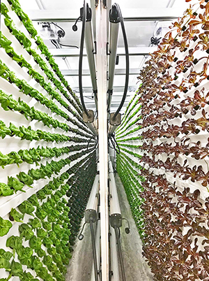 Vertical Roots says it can produce 40,000 heads of lettuce in about half the time of a traditional farm. (Tiger Corner Farms)