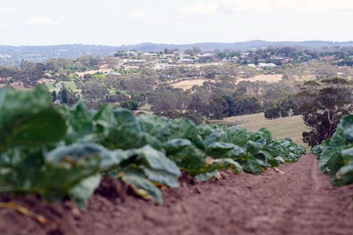 PHOTO:  Housing encroaches on farming property at Mount Barker in South Australia. (ABC News: David Sciasci)