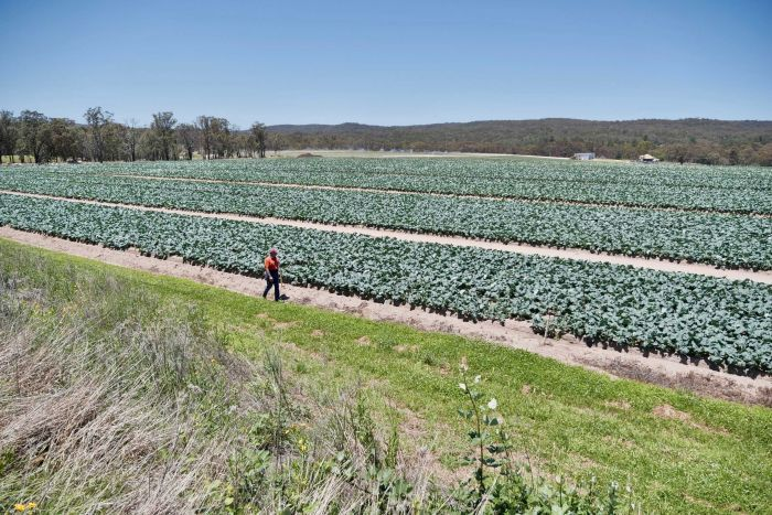 PHOTO:  Ray Taylor at his farm near Stanthorpe in Queensland, where he has room to expand operations. (ABC News: David Sciasci)