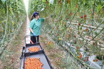 PHOTO:  One of Henry Liu's workers picks hydroponically grown tomatoes in a glasshouse at Virginia in South Australia. (ABC News: David Sciasci)