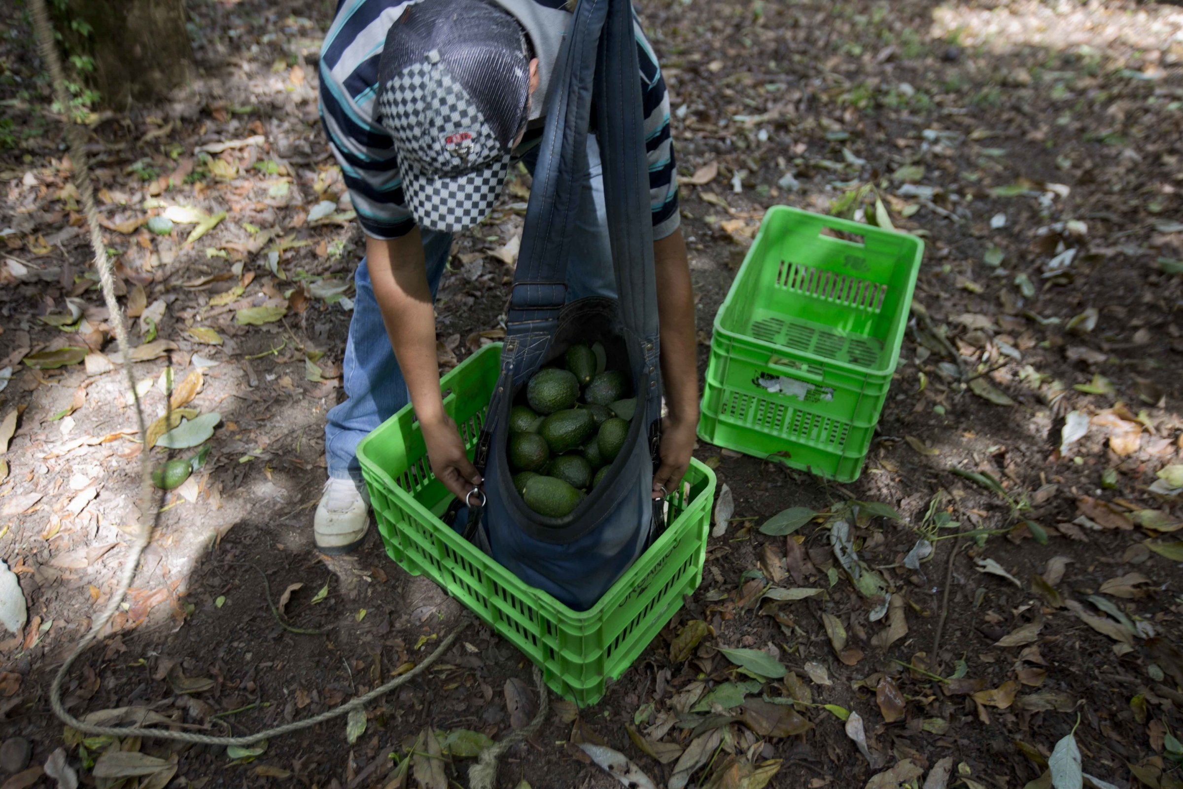 AP Photo/Eduardo Verdugo, FileA man works at an avocado orchard owned by the Cevallos family in Michoacan, Mexico.