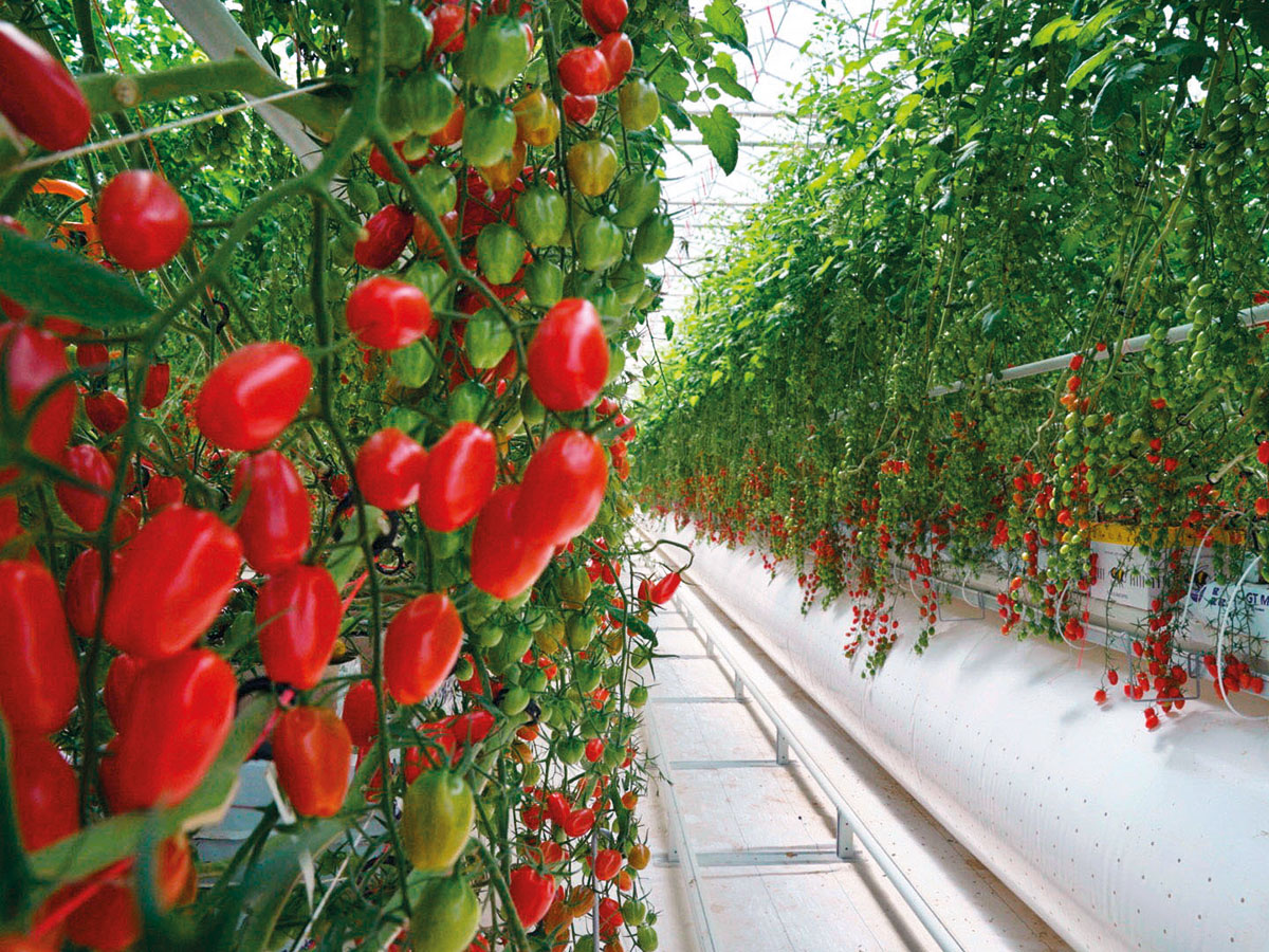 Al Dahra BayWa Greenhouse in Al Ain: The facility in Al Ain consumes 67 per cent less water than traditional greenhouses and the cooling technology employed is the first of its kind in the world. It has the capacity to produce 3,000 tons of tomatoes locally.Image Credit: WAM