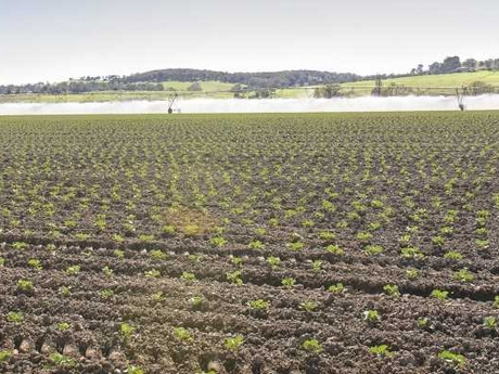 Photo: Vegetable crops in East Gipplsand
