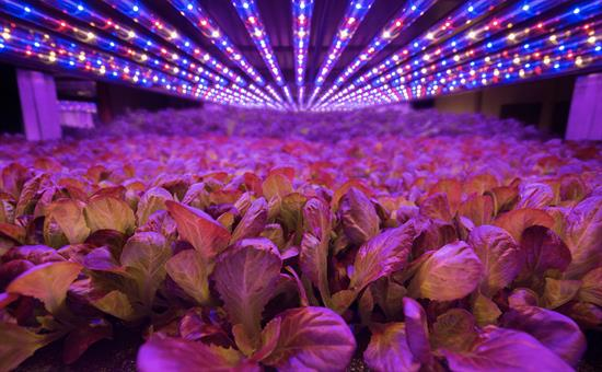 Using blue and red LED lighting makes vertical farms more economical to run (image courtesy of AeroFarms).