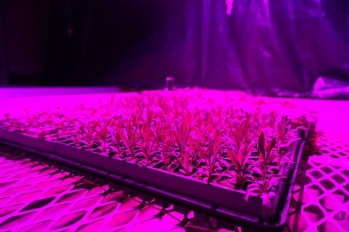 The controlled environment of a vertical farm used to produce transplants can ensure a high germination rate and can produce a lot of transplants in a small area.