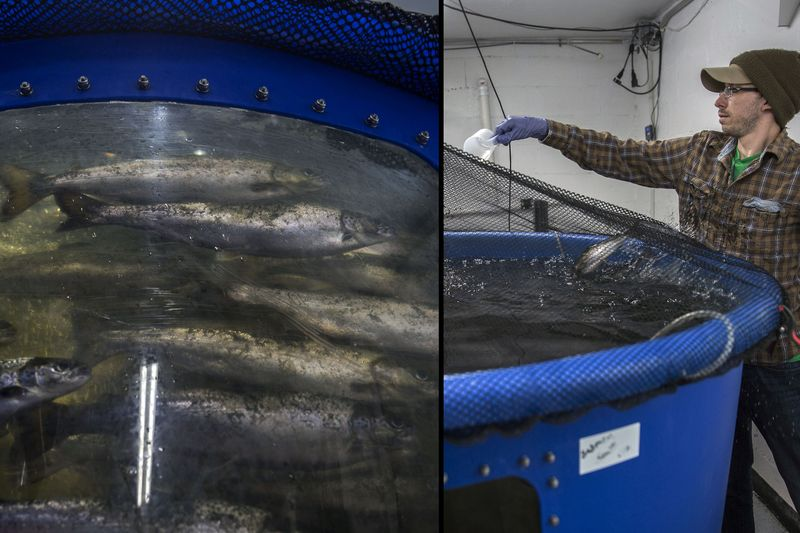A worker feeds Atlantic Salmon in a tank  Photographer: Photographer: Victor J. Blue/Bloomberg