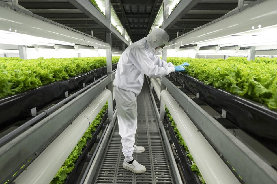 An employee checks lettuce grown in an indoor farm at a Spread Co. plant in Kameoka, Kyoto Prefecture, Japan, on Tuesday, Oct. 2, 2018. Spread is preparing to open the world's largest automated leaf-vegetable factory. It's the company's second vertical farm and could mark a turning point for vertical farming -- bringing the cost low enough to compete with traditional farms on a large scale. Photographer: Tomohiro Ohsumi/Bloomberg  © 2018 BLOOMBERG FINANCE LP