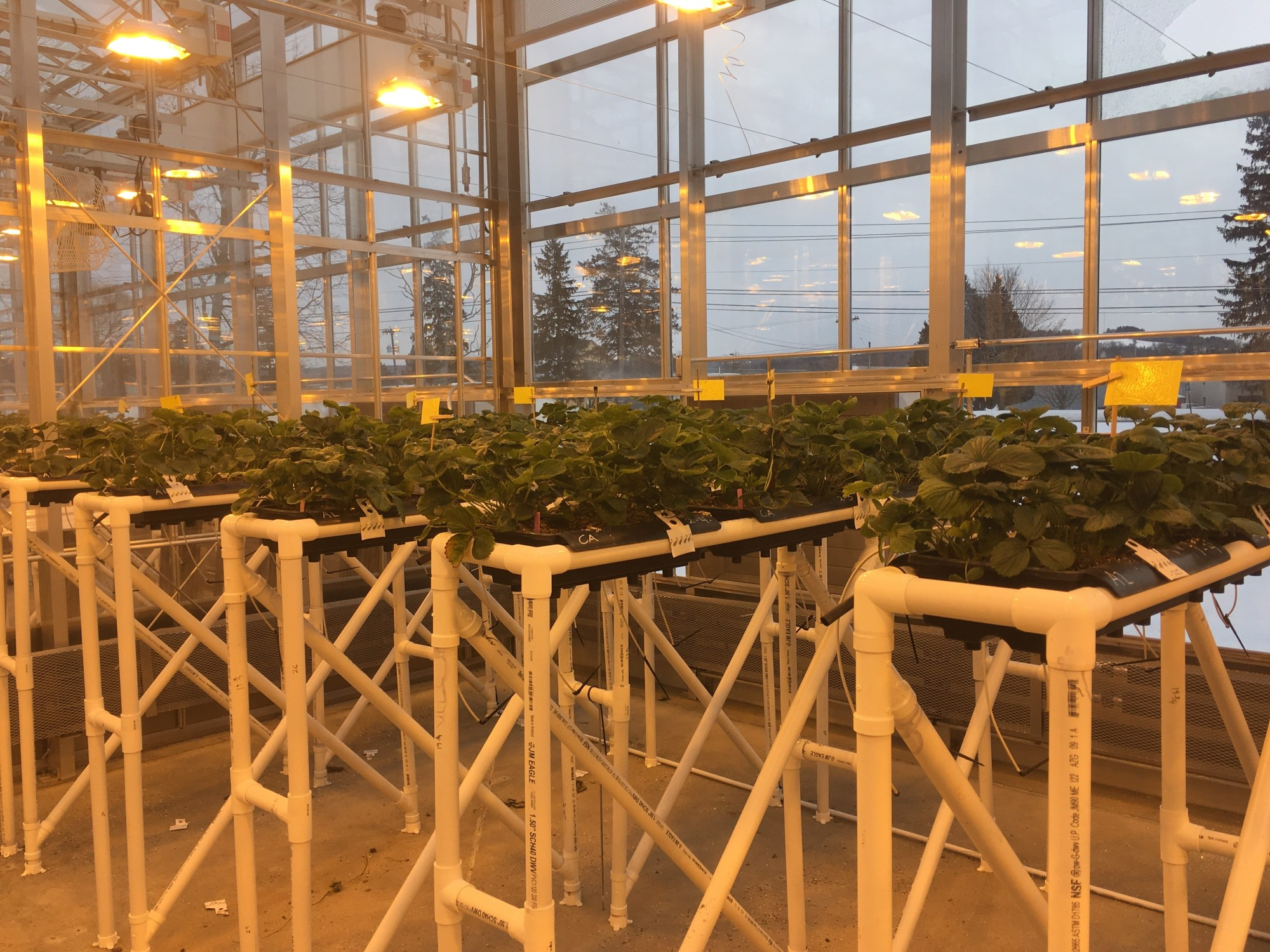 GLASE researchers are conducting greenhouse experiments on tomato and strawberry to analyze the relationship between light, carbon dioxide and plant growth.