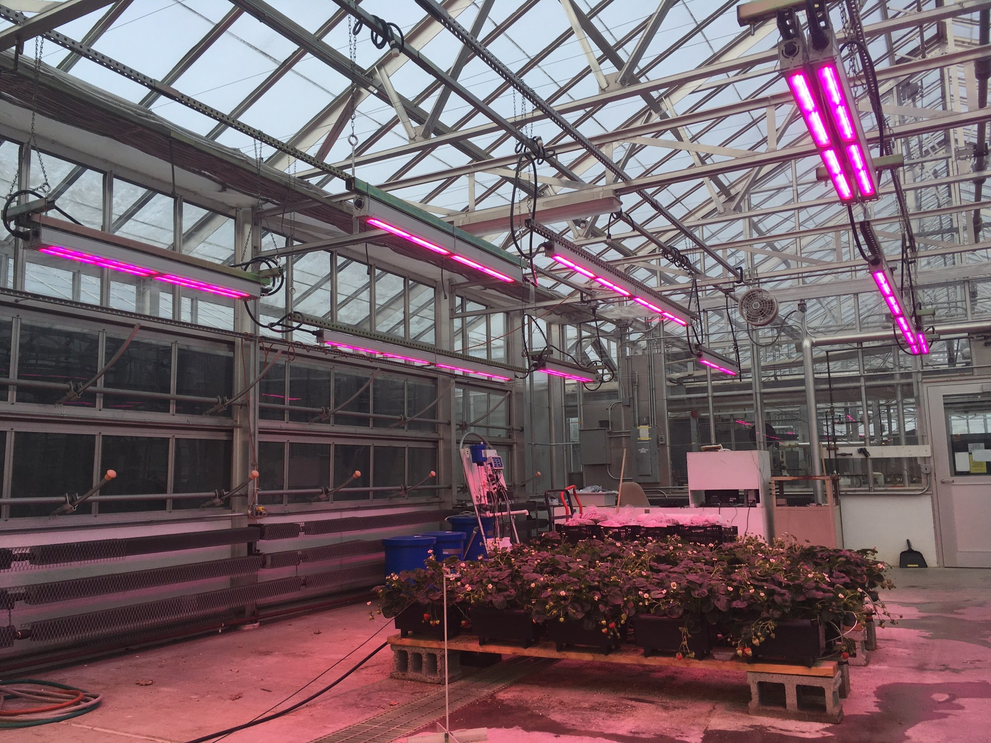 One of the common issues encountered by growers who have installed grow lights is the lack of light uniformity which can be caused by undersizing the number of fixtures.