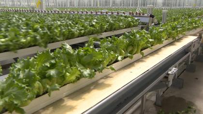 Lettuce grows in gutters at Little Leaf Farms in Devens. (WBZ-TV)