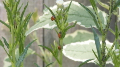 Little Leaf Farms uses lady bugs to eat the insects that threaten crops. (WBZ-TV)