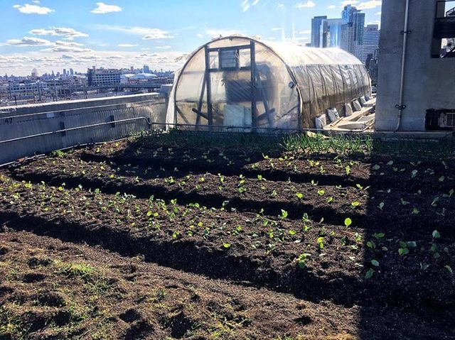 Spring has sprung! It's always so exciting to see the transplants make their way out of the greenhouses and into the great big world. Sometimes it takes them a few days to find their footing on our windy rooftops but once they do, they thrive. These kohlrabi babes will be ready to harvest by mid-June.  #BGseason9   #BGgrows