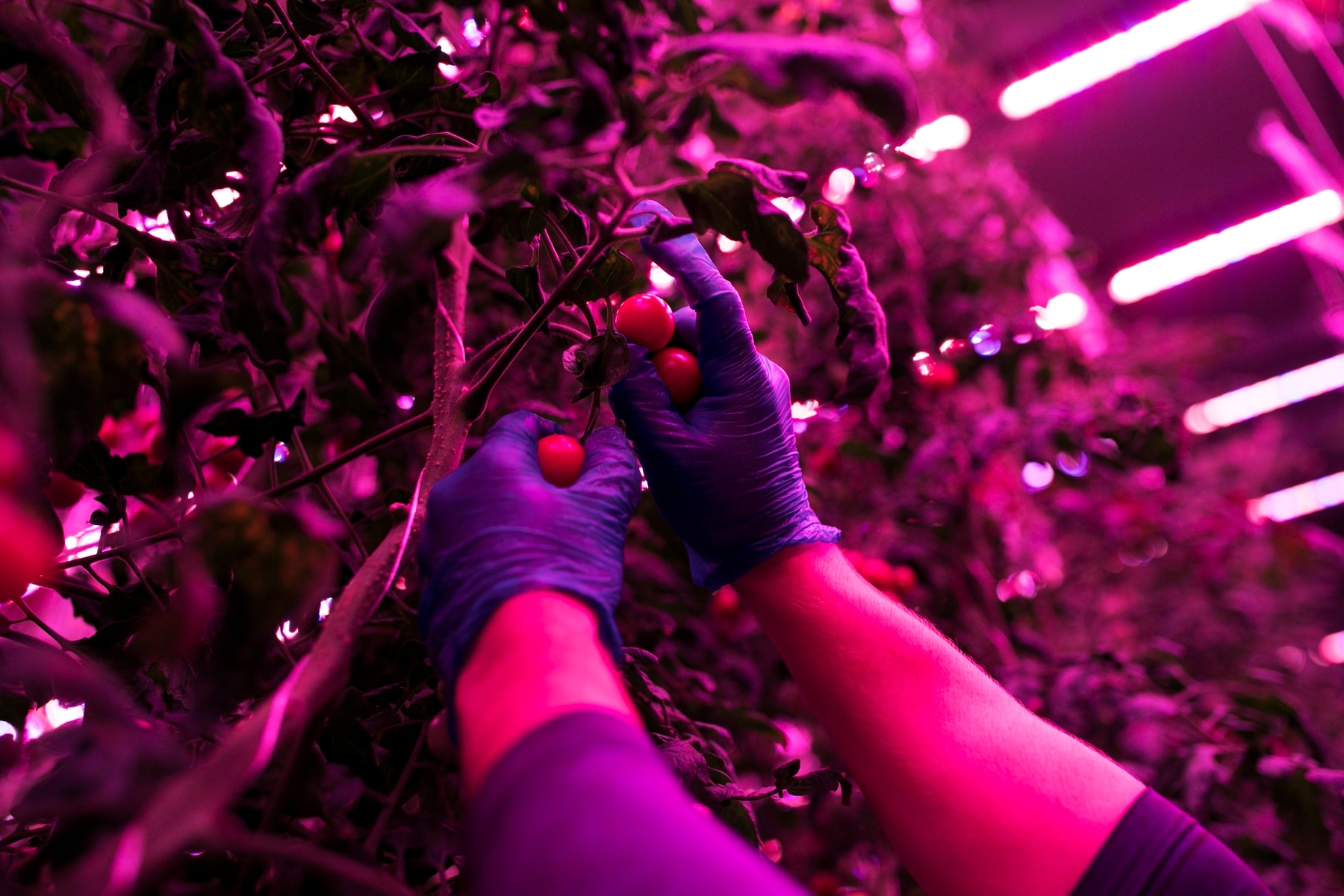 Grower David Litvin picks tomatoes at 80 Acres Farms in Cincinnati. The vines grow in a high-tech environment that includes LED lamps with customized light recipes. The plant factory produces 200,000 pounds of leafy greens, vine crops, herbs and microgreens annually in a 12,000-square-foot warehouse. (Maddie McGarvey/For The Washington Post)