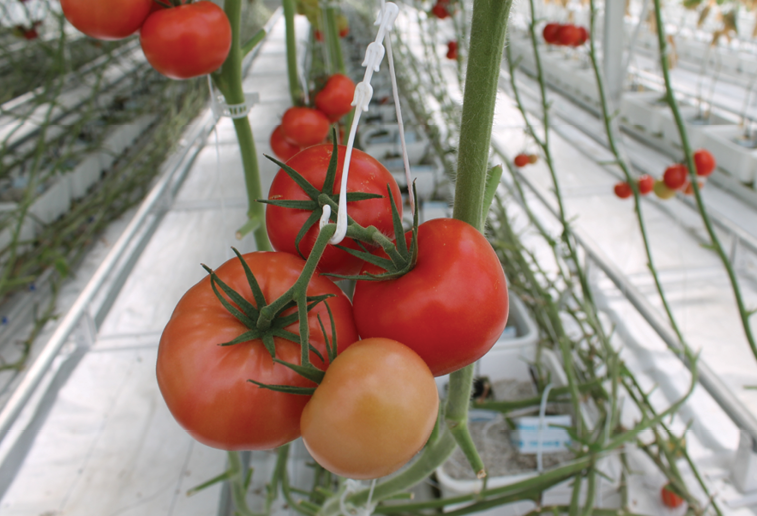 Micro Farms grows tomatoes in addition to its Verti Tube-grown lettuce.Photo: Brooke Bilyj