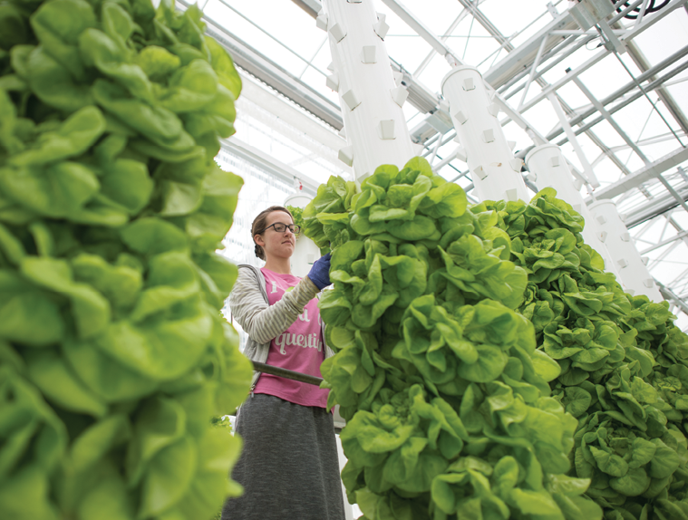Ronda Kuhns, greenhouse worker at Micro Farms, harvests lettuce from its Verti Tubes.