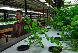 RICHARD SENNOTT • STAR TRIBUNE  An employee checked a row of cilantro being grown in soil fertilized by nutrients from live fish at Urban Organics. The aquaculture operation is closing.