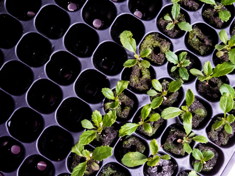 LGM_seedlings8.jpg