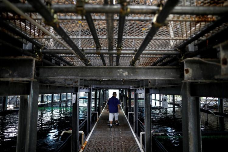 Apollo Aquaculture Group CEO Eric Ng checks on his fish at his prototype vertical fish farm in Singapore May 17, 2019. (Photo: REUTERS/Edgar Su)