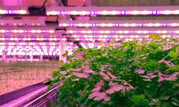 Jones Food's vertical farm in Scunthorpe, which grows fresh herbs under lights in a warehouse. Photograph: Holly Challinor