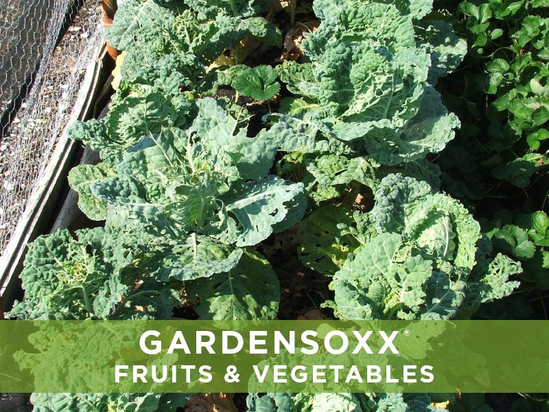 GardenSoxxFruitsVeggies13 lettuce.jpg