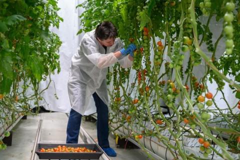 Researchers_at_Wageningen_University_study_tomato_production_under_Fluence_LED_lighting.jpg