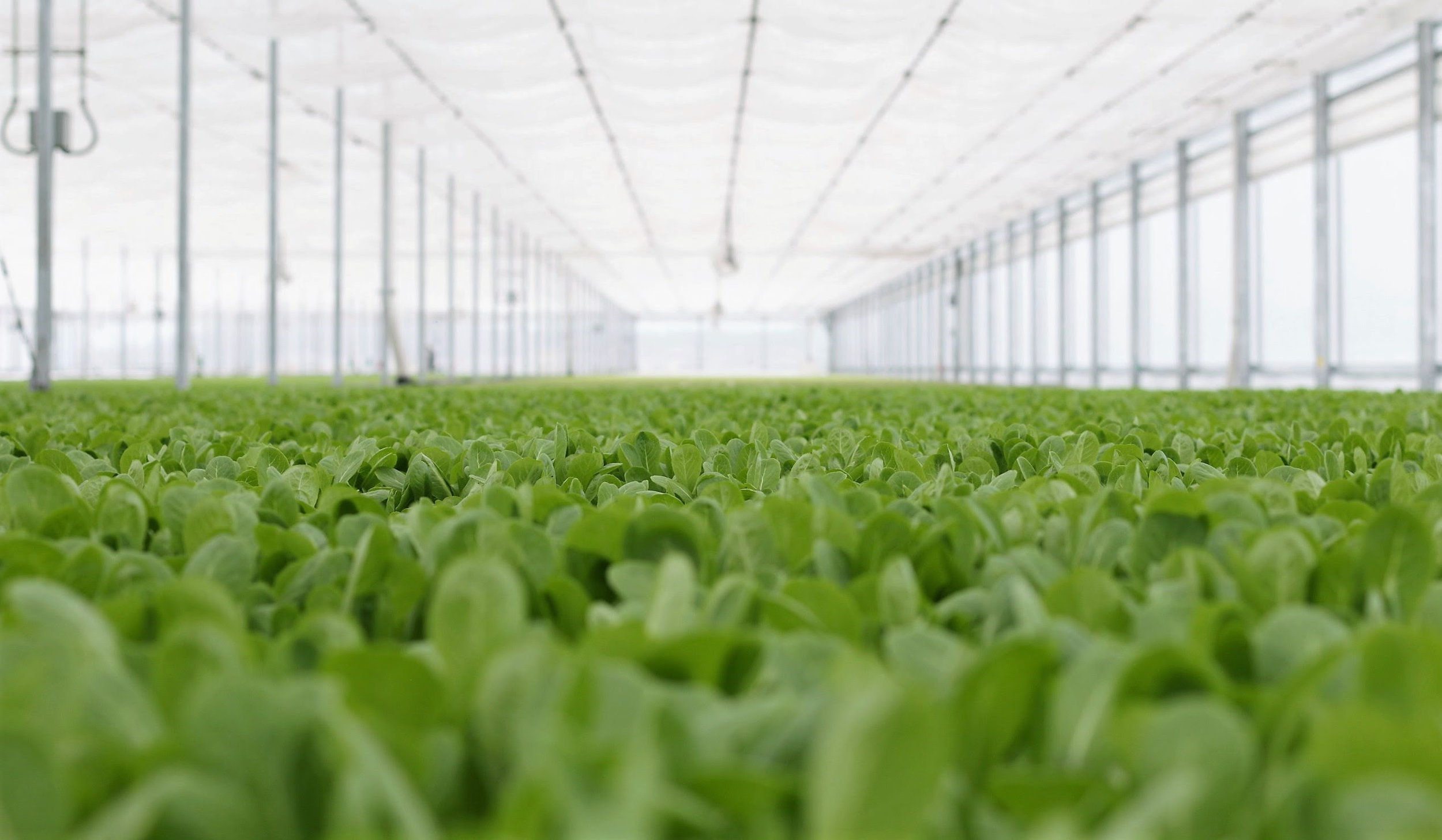 Green Life Farms   has harvested its first crop of baby leafy greens, pictured above, at its flagship hydroponic greenhouse in Lake Worth, an important milestone as the company prepares to begin selling to supermarkets, restaurants, cruise ships and other distributors. Green Life Farms expects to begin growing produce for customers later this summer.
