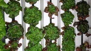 Freight+Farms+Mature+Plants+1.jpg