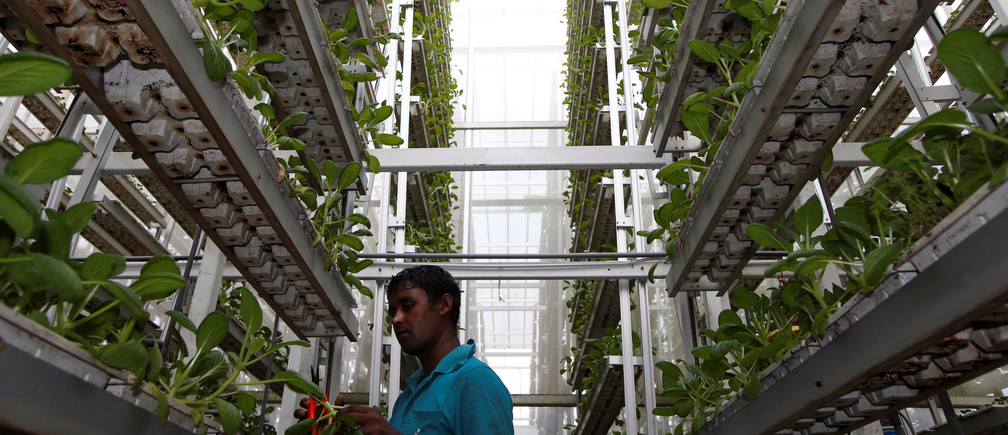 A worker harvests Image: REUTERS/Edgar Su at a vertical farm in Singapore.